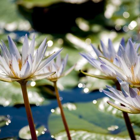 foto pixabay fiori di loto